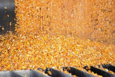 Corn being unloaded