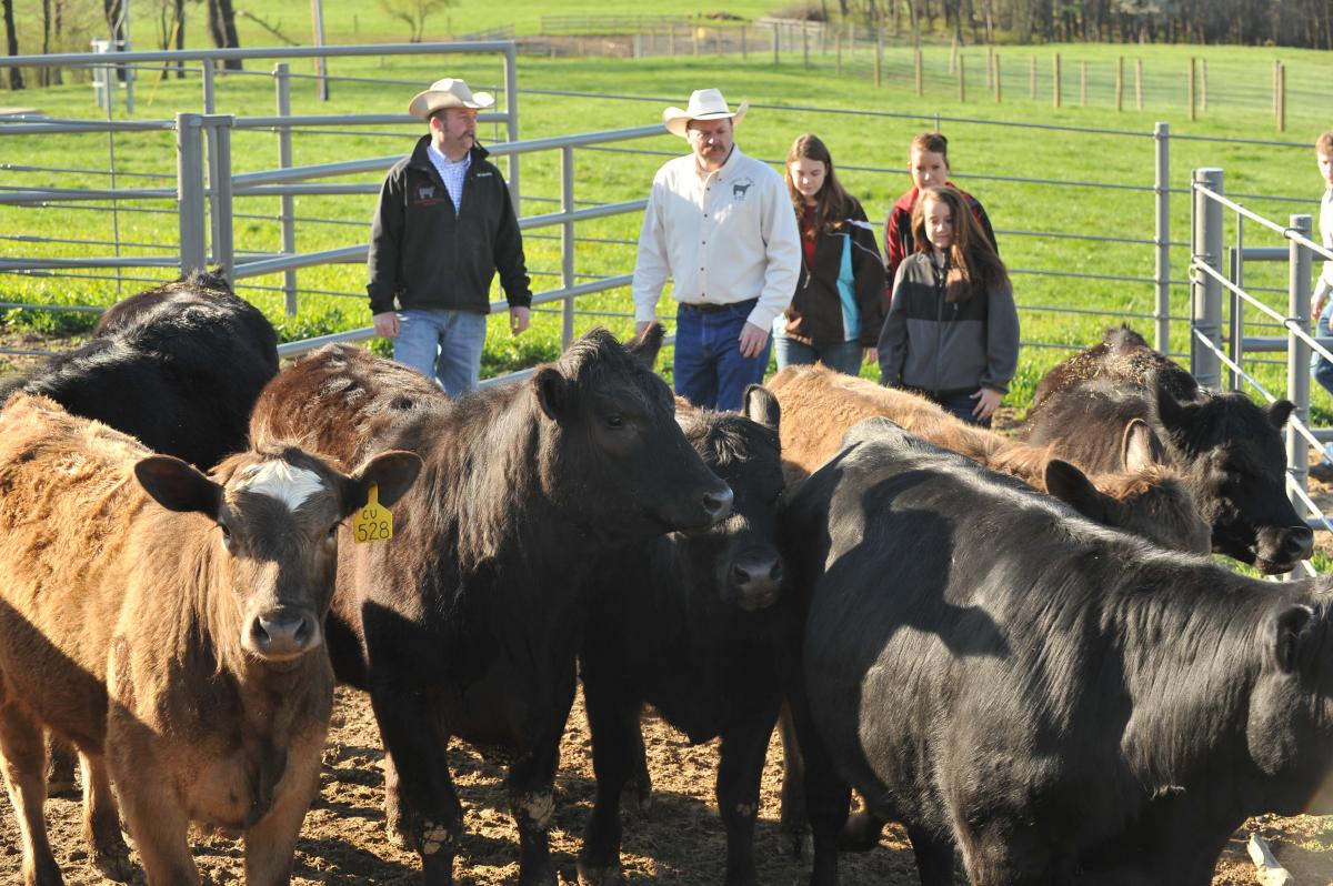 Moving cattle at ATI