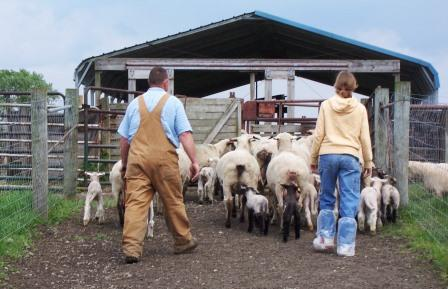 Moving ewes with lambs to handling facility