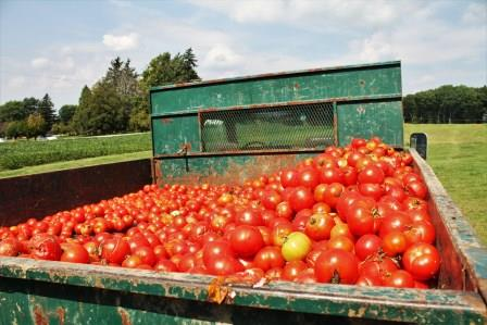 Truck load of tomatoes for dispopsal