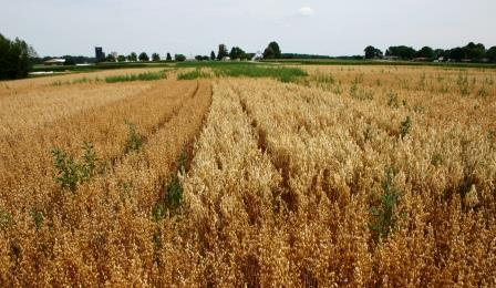 Organic oat variety trial